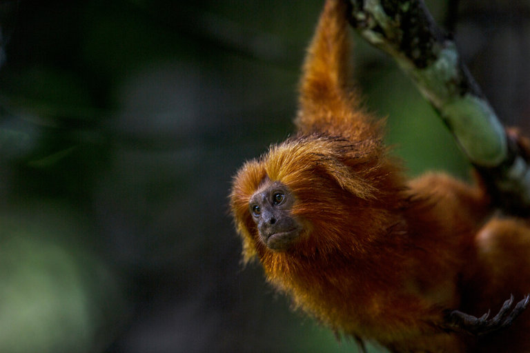 Yellow fever is threatening species at risk of extinction, like the golden lion tamarin, which lives in the forests of Rio de Janeiro State. Credit Dado Galdieri for The New York Times