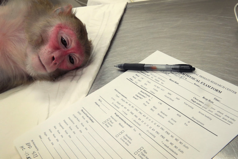 A pregnant rhesus macaque monkey infected with the Zika virus. University researchers released a study that found the Zika virus persisted in the blood of pregnant monkeys for 30 to 70 days but only around seven days in others. Credit Scott Olson/Getty Images