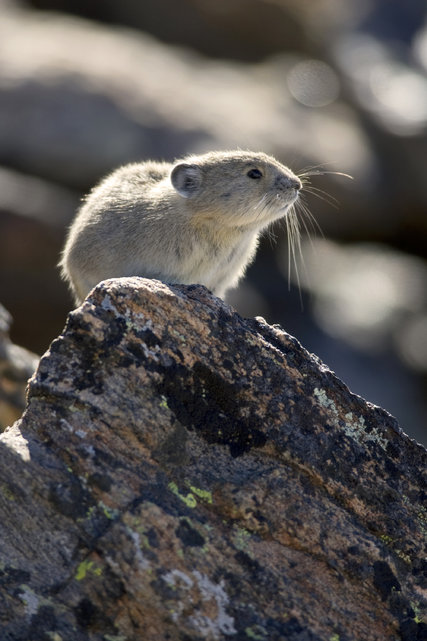The American pika lives in rocky mountain areas and boulder-covered hillsides. In recent years, it  has been retreating to higher elevations. Since the 1990s, some pika populations along the species' southernmost ranges have vanished. Credit Science Source
