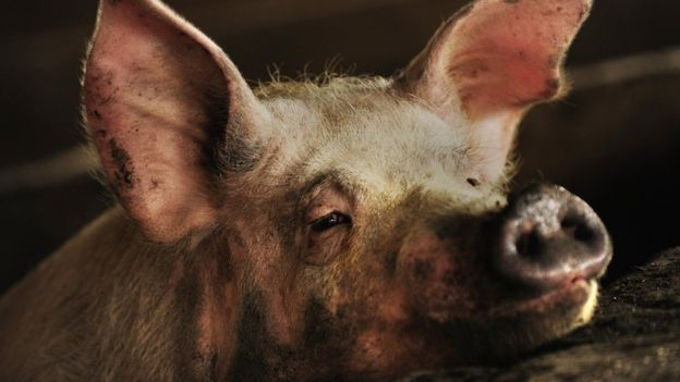 The resistance was discovered in pigs, which are routinely given the drugs in China. Getty Images.
