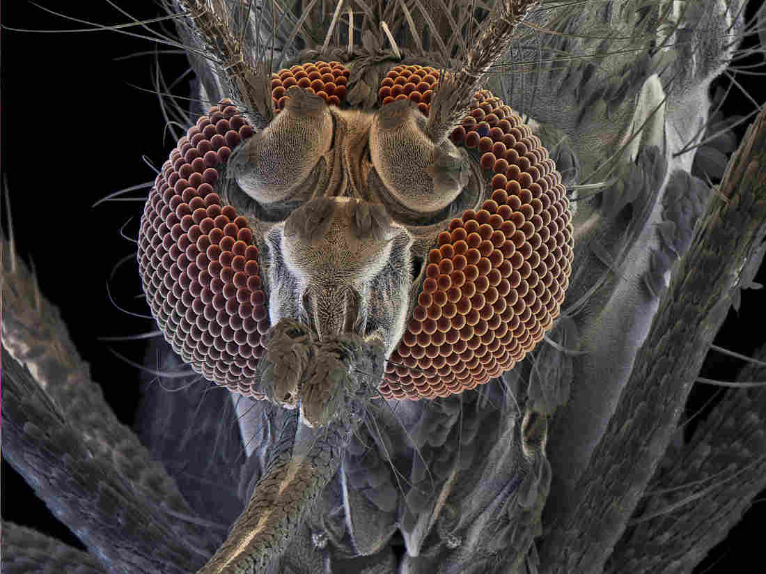 Don't bite me: The female of a mosquito called Aedes aegypti can transmit yellow fever, dengue fever and chikungunya. David Scharf/Science Source