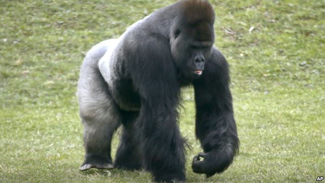 Mrithi, a 20-year-old male western lowland gorilla.
